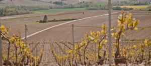 photo vigne jaune
